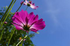 Cosmos flower meadow with blue sky Stock Photos