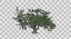 Big Leaf Maple Tree Growth Animation Stock Footage