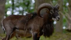 European mouflon (Ovis gmelini musimon / Ovis ammon) ram in forest in spring Stock Footage