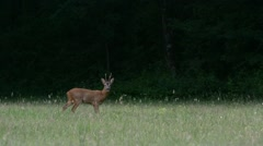 European roe deer (Capreolus capreolus) buck fleeing from meadow into forest Stock Footage