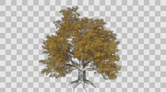 European Beech Tree Growth Animation - stock footage