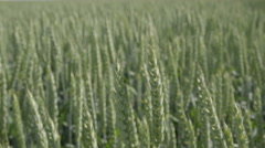 The walk along the field of a wheat. Walk motion. Slow motion capture Stock Footage