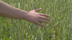 The hand touch a wheat on the field. Walk motion. slow motion capture Stock Footage