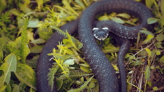 The snake is sitting in the grass, sticks out his tongue and studying environmen Stock Footage