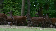 Large herd of red deer hinds and stags (Cervus elaphus) in forest spring - stock footage