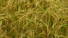 The field of beautiful wheat. Real time capture Stock Footage