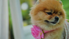 Pomeranian Spitz with Flower and Dress Stock Footage