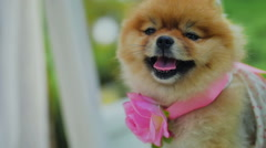 Pomeranian Spitz with Flower and Dress Yawn at Camera - stock footage