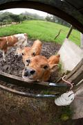 Thirsty Costa Rican calf Stock Photos