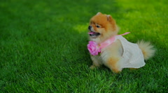 Pomeranian Spitz Girl Sit on Grass Stock Footage