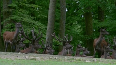 Large herd of red deer hinds and stags (Cervus elaphus) in forest in spring Stock Footage