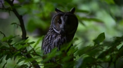 Long-eared owl (Asio otus / Strix otus) perched in tree in forest - stock footage