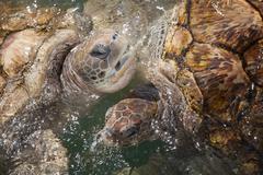 Carribean Sea Turtles - stock photo