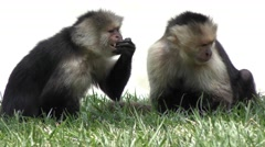 White Throated Capuchin Monkey Stock Footage
