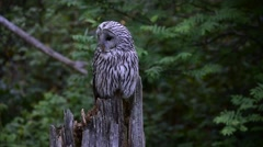 Ural owl (Strix uralensis) perched on tree stump in forest Stock Footage