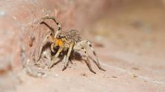 Wolf Spider Carrying Babies Stock Photos
