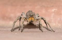 Spider Carying Offspring on Back - stock photo