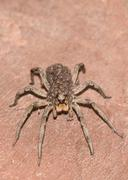 Wolf Spider Carrying Her Young - stock photo