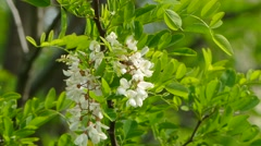 Bees And Acacia Tree In Blossom - stock footage