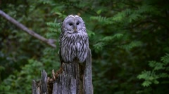 Ural owl perched on tree stump in forest and turning head backwards Stock Footage