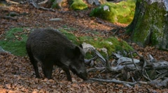 Panning shot of wild boar (Sus scrofa) sow with piglet foraging in forest Stock Footage