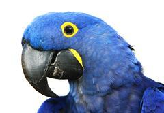 Hyacinth Macaw Stock Photos