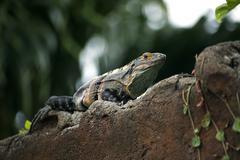 Iguana on a wall - stock photo