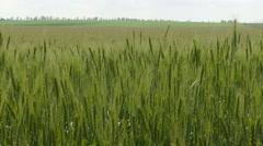 Green Wheat Field Under Grey Sky Stock Footage