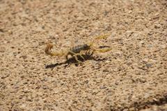 Desert Striped Scorpion Stock Photos