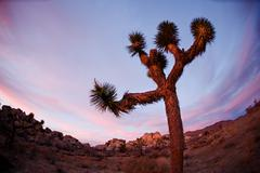 Joshua Tree Silhouette Stock Photos