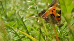 Butterfly sitting in grass closeup - stock footage