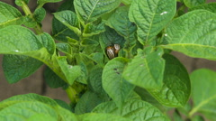 The Colorado beetle and Larvae on the leaves.Pests Of Potatoes Stock Footage