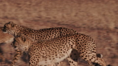 Cheetah running side on to camera in slow motion Stock Footage