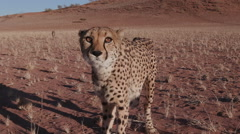 Cheetah snarling and looking towards camera in slow motion - stock footage