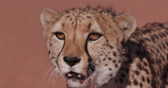 4K Cheetah snarling and looking towards camera Stock Footage