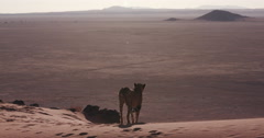 4K Cheetah walking on the red sand dunes of the Namib desert Stock Footage
