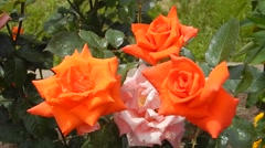 Sort orange hybrid tea rose garden swaying in the wind Stock Footage