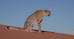 4K Cheetah walking on the red sand dunes of the Namib desert - stock footage