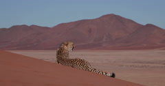 4K Cheetah lying on the red sand dunes of the Namib desert Stock Footage