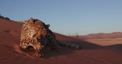 4K Cheetah lying down and licking paws on the red sand dunes of the Namib desert - stock footage