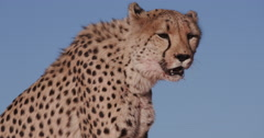 4K Panning upwards shot of Cheetah sitting on red sand dunes of the Namib desert Stock Footage