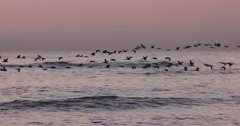 Birds flying at sunset over the sea - stock footage