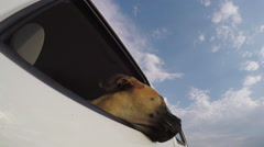 Happy dog enjoying a ride with its head out of car window - stock footage