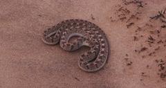 4K egg eating snake in defensive posture Stock Footage
