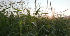 4K Moving shot through corn field with sunrise in the background Stock Footage
