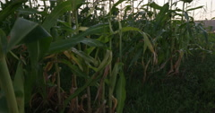 4K Crane shot of corn field with sun rising in the background Stock Footage