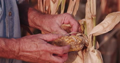 4K farmer opening and inspecting un-healthy corn cob Stock Footage