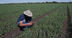 4K Agronomist/farmer inspecting field of onion plants using a smart phone Stock Footage
