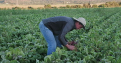 4K Agronomist/farmer inspecting beetroots for signs of disease and nutritional Stock Footage