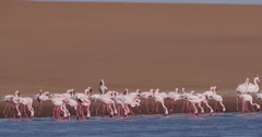4K Lesser flamingos feeding in lagoon with sand dunes in the background Stock Footage